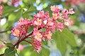 Fleischrote Rosskastanie (Aesculus × carnea) - Flickr - blumenbiene.jpg