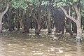 Flooded trees in Kampong Phlouk (3).jpg