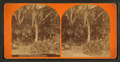 Floradian forest, from Robert N. Dennis collection of stereoscopic views.png
