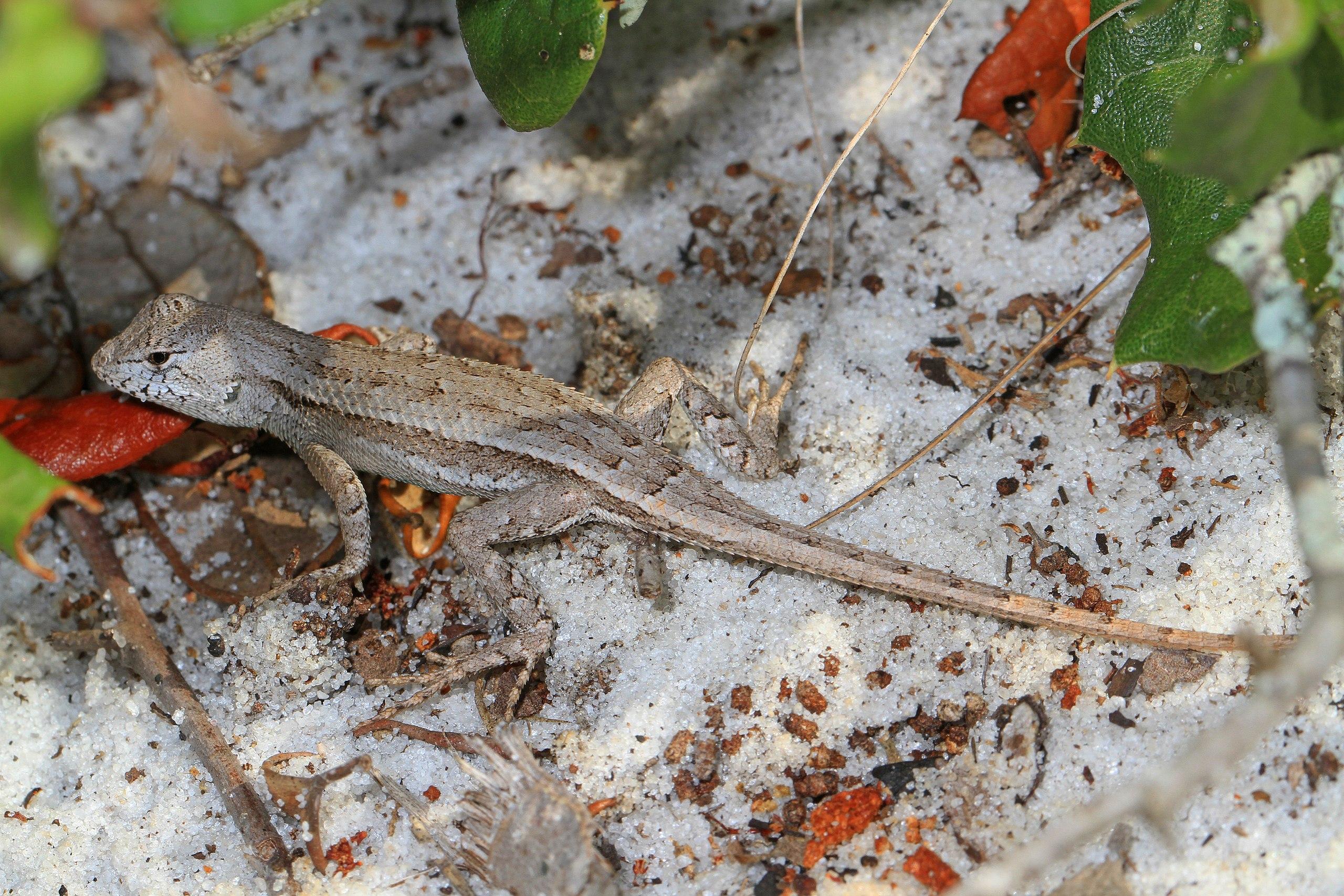 Florida Scrub Lizard (Sceloporus woodi)