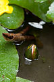 Flower, Water Lily - Flickr - nekonomania (9).jpg