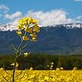 Flower Infront of the Jura - panoramio.jpg