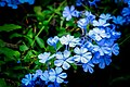 Flowering Blue Plumbago Branch PLT-FL-BP-1.jpg