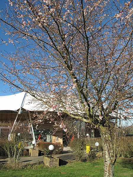 Prunus flowering in january (2012). On the rest area of Villeroy on french highway Autoroute A19.