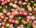 Flowers In My Dreams (42793412).jpeg
