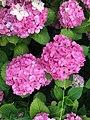 Flowers of Hydrangea macrophylla 20200618-4.jpg