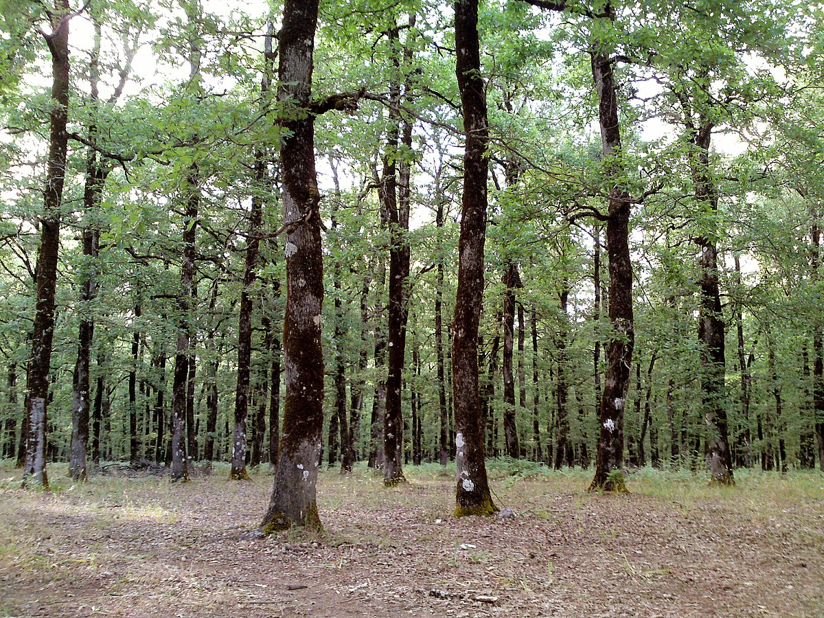 oak forest chat Where oak is mixed with other species and is a minor part of the forest, oak wilt will spread slower and may actually stop where roots are not grafted new pockets of dead oak may also be formed by sap-feeding beetles spreading oak wilt above ground.
