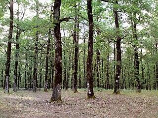 Foloi oak forest plateau in Greece
