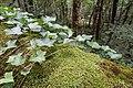Forest @ Roc de Chère @ Talloires (35645795875).jpg