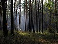 Forrest - panoramio - vorobyov.dmitry.jpg