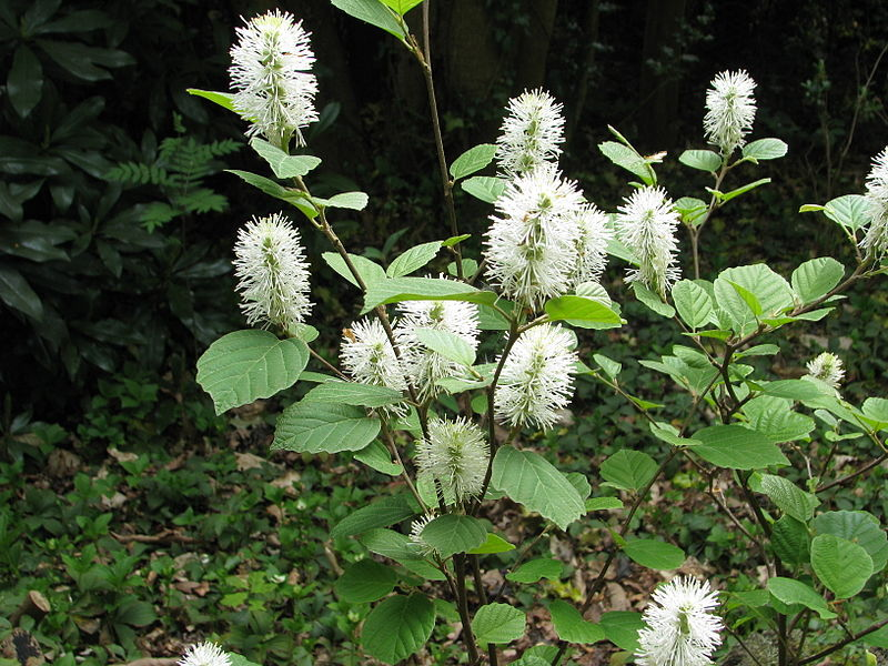 Fil:Fothergilla major.jpg