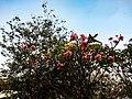 Frangipani flowers tree.jpg