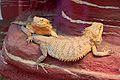 Frankfurt Zoo - Inland bearded dragon.jpg