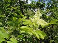Fraxinus ornus Bulgaria 5.jpg