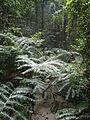 Frazier Island - The giant ferns 2 (4096762113).jpg