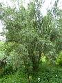 Freylinia lanceolata, habitus, Manie van der Schijff BT.jpg