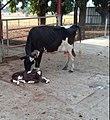 Friesian cow.jpg