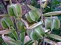 Fritillaria sewerzowii fruits.jpg