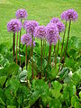 Fulda Juni 2012 Allium.JPG