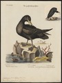 Fulmarus giganteus - 1700-1880 - Print - Iconographia Zoologica - Special Collections University of Amsterdam - UBA01 IZ17900072.tif