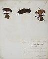 Fungi agaricus seriesI086.jpg