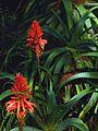 G20080210-1440--Aloe arborescens (12275234204).jpg