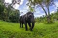 Gajah sumatera di Tangkahan.jpg