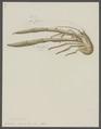 Galathea rugosa - - Print - Iconographia Zoologica - Special Collections University of Amsterdam - UBAINV0274 096 14 0007.tif