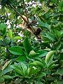 Gambá-de-Orelha-Branca (Didelphis albiventris) 04.jpg