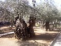 Garden of Gethsemane East Jerusalem - panoramio.jpg
