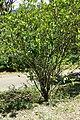 Gardenia jasminoides kz2.jpg