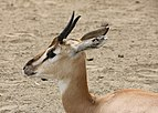 Gazelle in San Diego Zoo.jpg