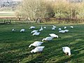 Geese grazing at the Weald and Downland Museum - geograph.org.uk - 1160374.jpg