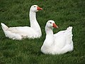 Geese on the village green - geograph.org.uk - 723851.jpg