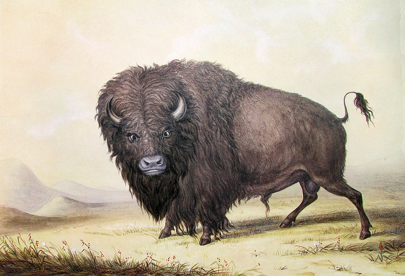 File:George Catlin Bull Buffalo.JPG