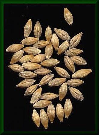 Grain - Barley