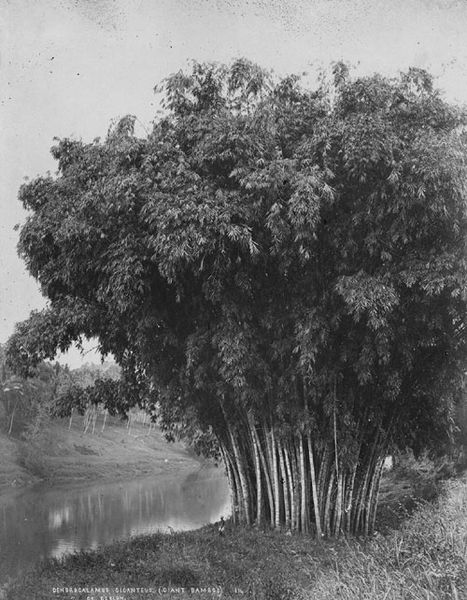 File:Giant Bamboo in Celyon 1870s.jpg