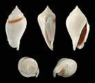 Gibberulus gibberulus albus 01.JPG