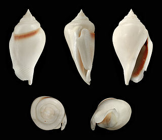 <i>Gibberulus gibberulus</i> species of mollusc