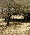 Gir national park, Gujarat.jpg