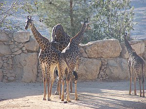 South African giraffe - A group of South African giraffe at the Jerusalem Biblical Zoo