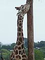 Giraffe, Folly Farm.jpg