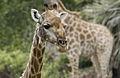 Giraffe face at Kruger National Park (13826720125).jpg