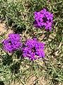 Glandularia flower.jpg