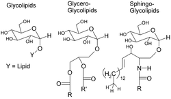 Glycolipids.png