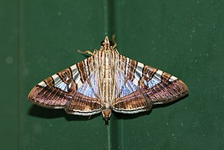 <i>Glyphodes</i> Genus of moths
