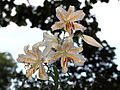 Gold-banded Lily Lilium auratum Lindl. 山百合(ヤマユリ).jpg