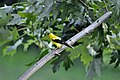 Goldfinch on Branch (4842126425).jpg