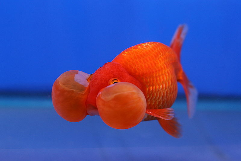 File goldfish bubble wikimedia commons for Nourriture poisson rouge voile de chine