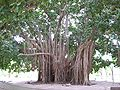 Gomero de la India, Parque Mitre, Corrientes.jpg